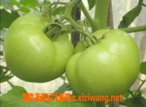 青番茄能吃吗 青番茄有没有毒