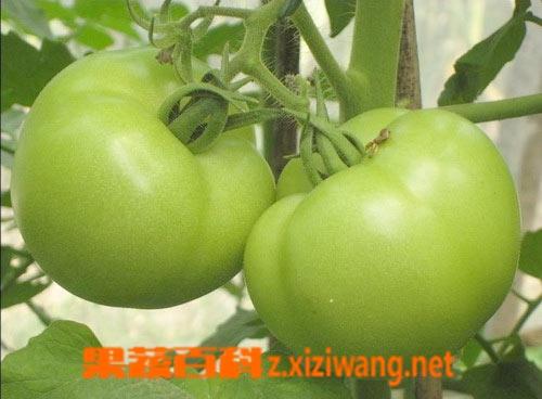 果蔬百科青番茄